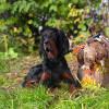 Beccacce con cani da ferma