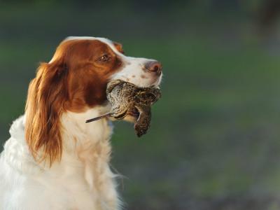 Beccaccino con cani da ferma