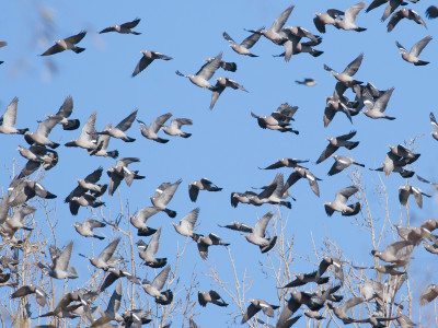 Casa Rizzini Wood Pigeon