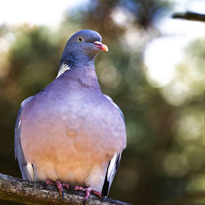 Wood Pigeons Hunt in Ireland