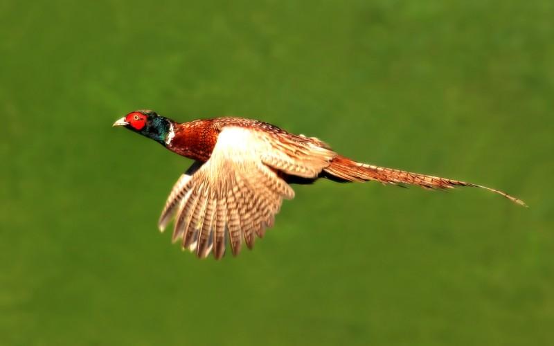 Wild Pheasants Ireland Driven Pheasants Ireland