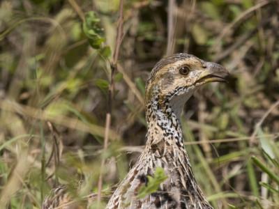 Francolin in Kenya