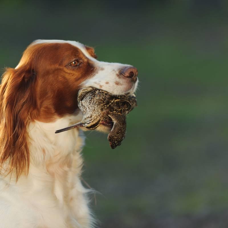 Caccia in Irlanda con cani da ferma