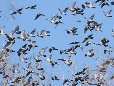 piccoli colombi